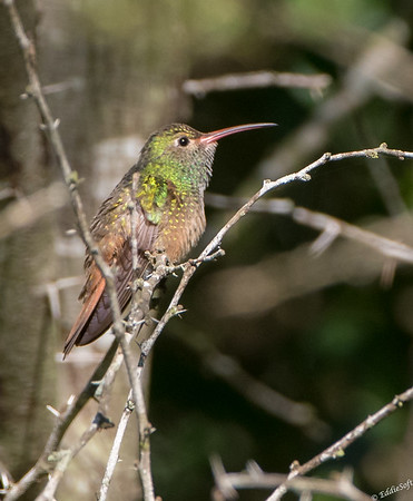 Buff-Bellied Hummingbird found at Estero Llano Grande State Park January 2018