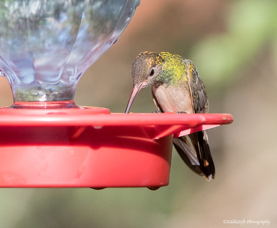 Buff-Bellied Hummingbird found at Bentsen-Rio Grande Valley State Park January 2018